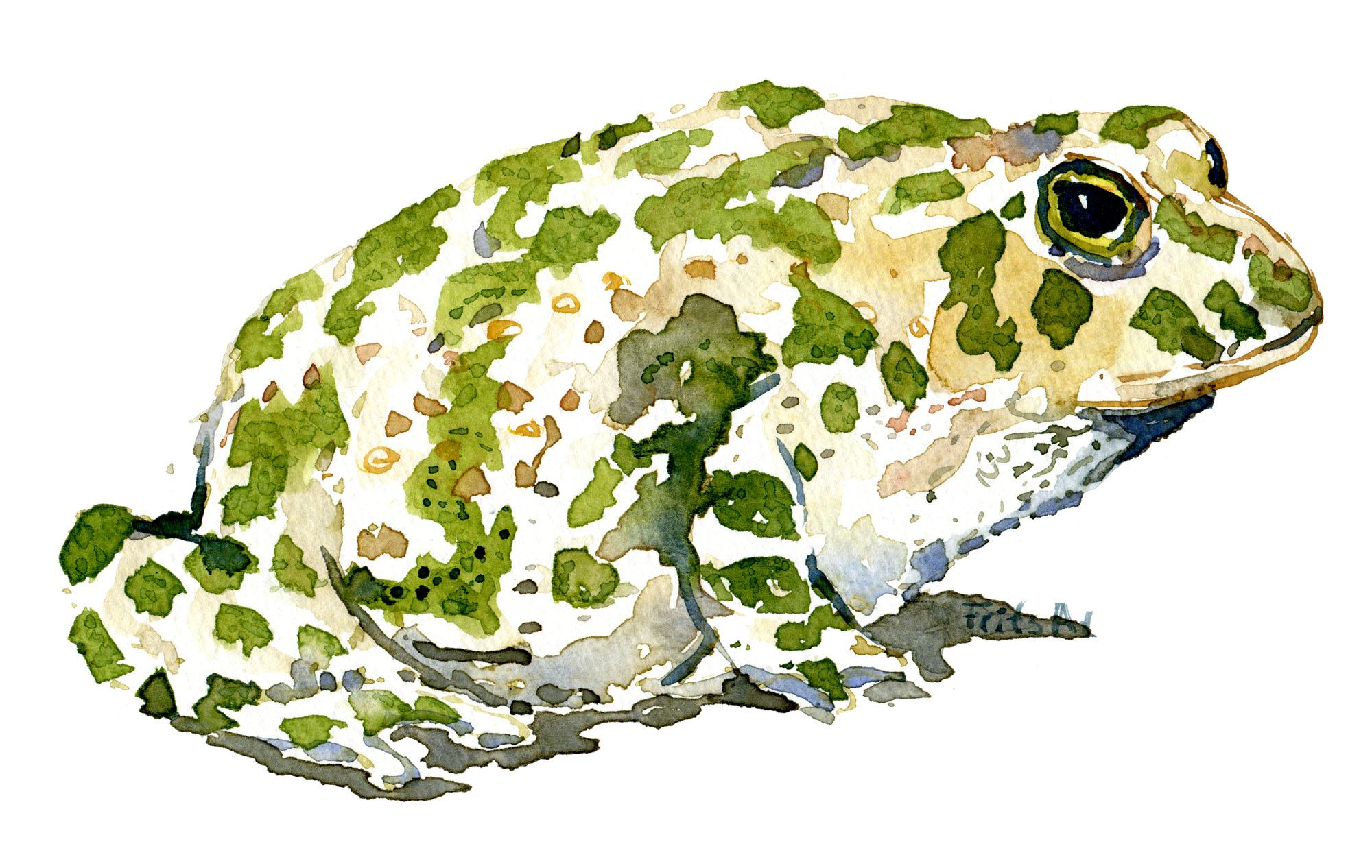 Akvarel af Grønbroget Tudse