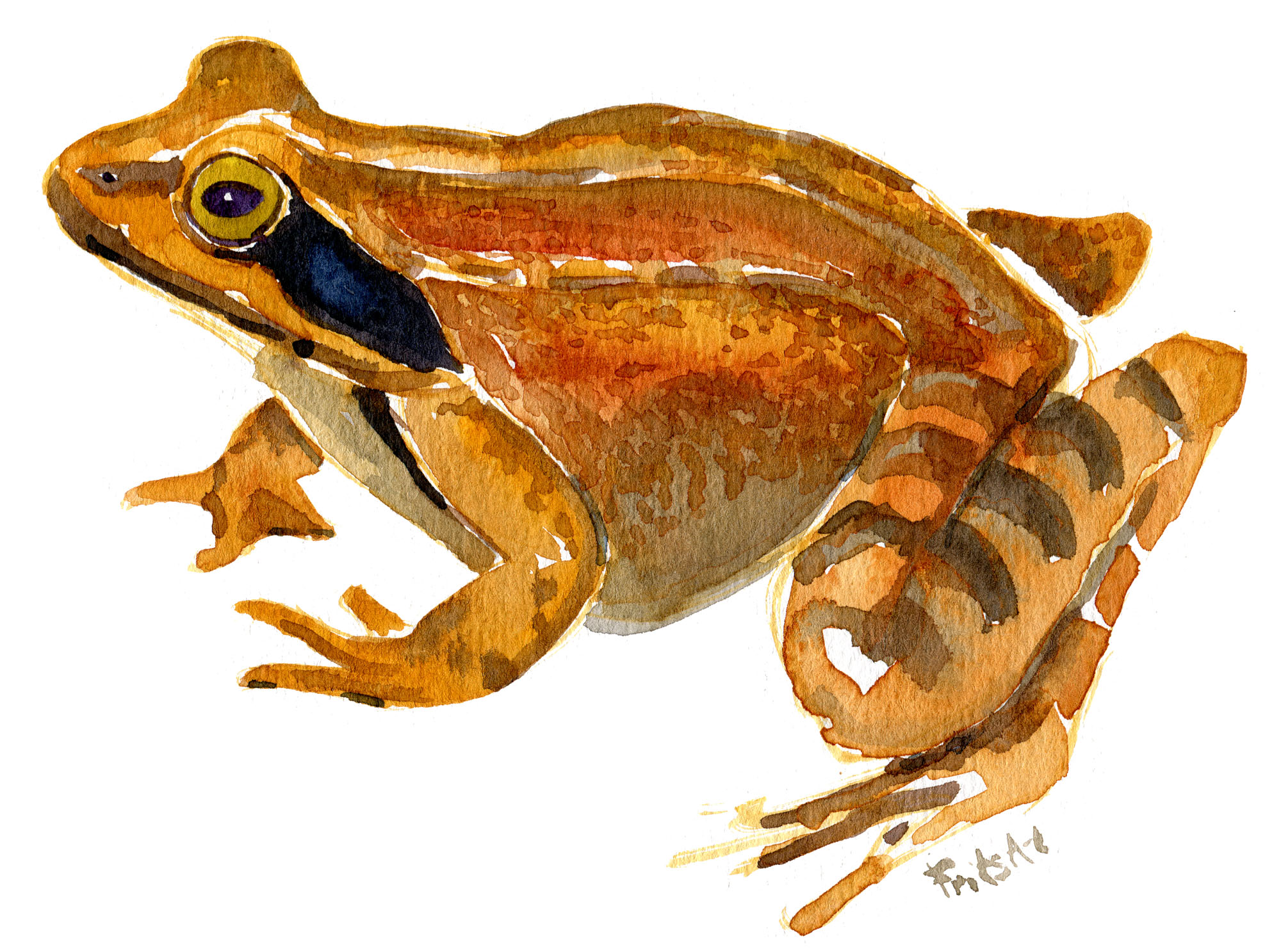 agile-frog-1-watercolor-by-frits-ahlefeldt