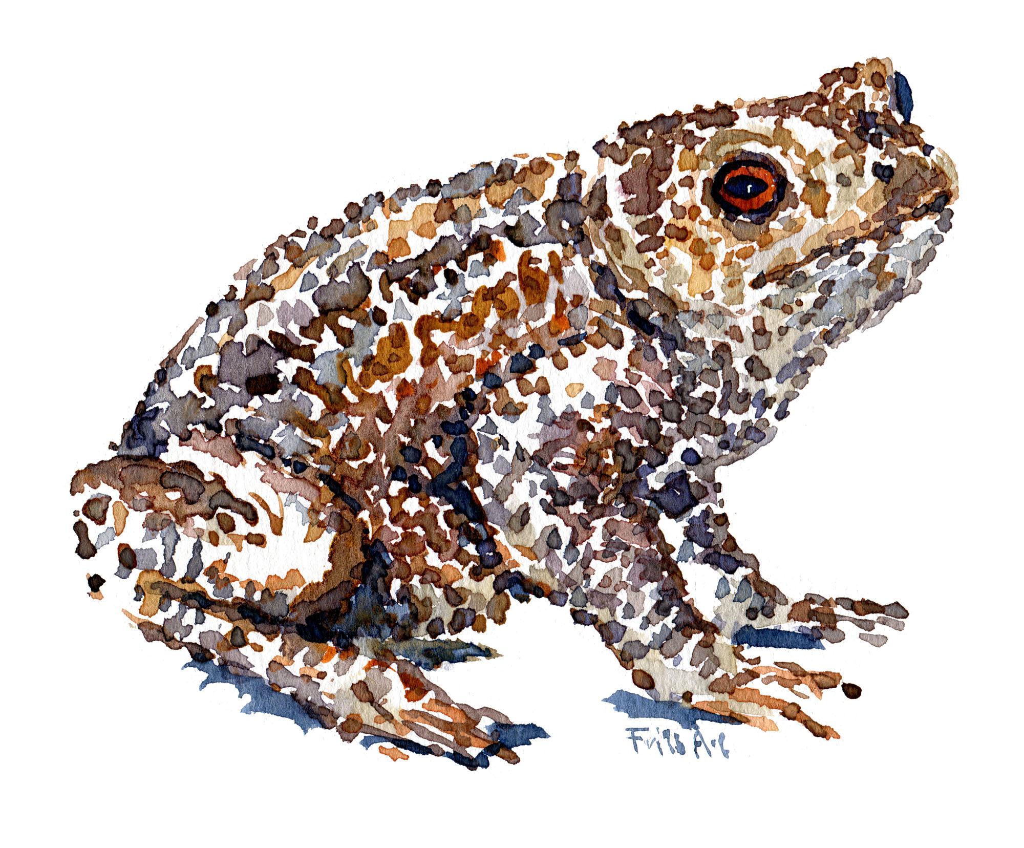 Akvarel af Skrubtudse