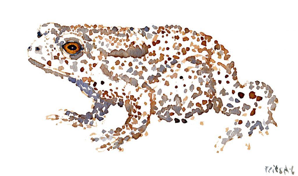 akvarel af tudse