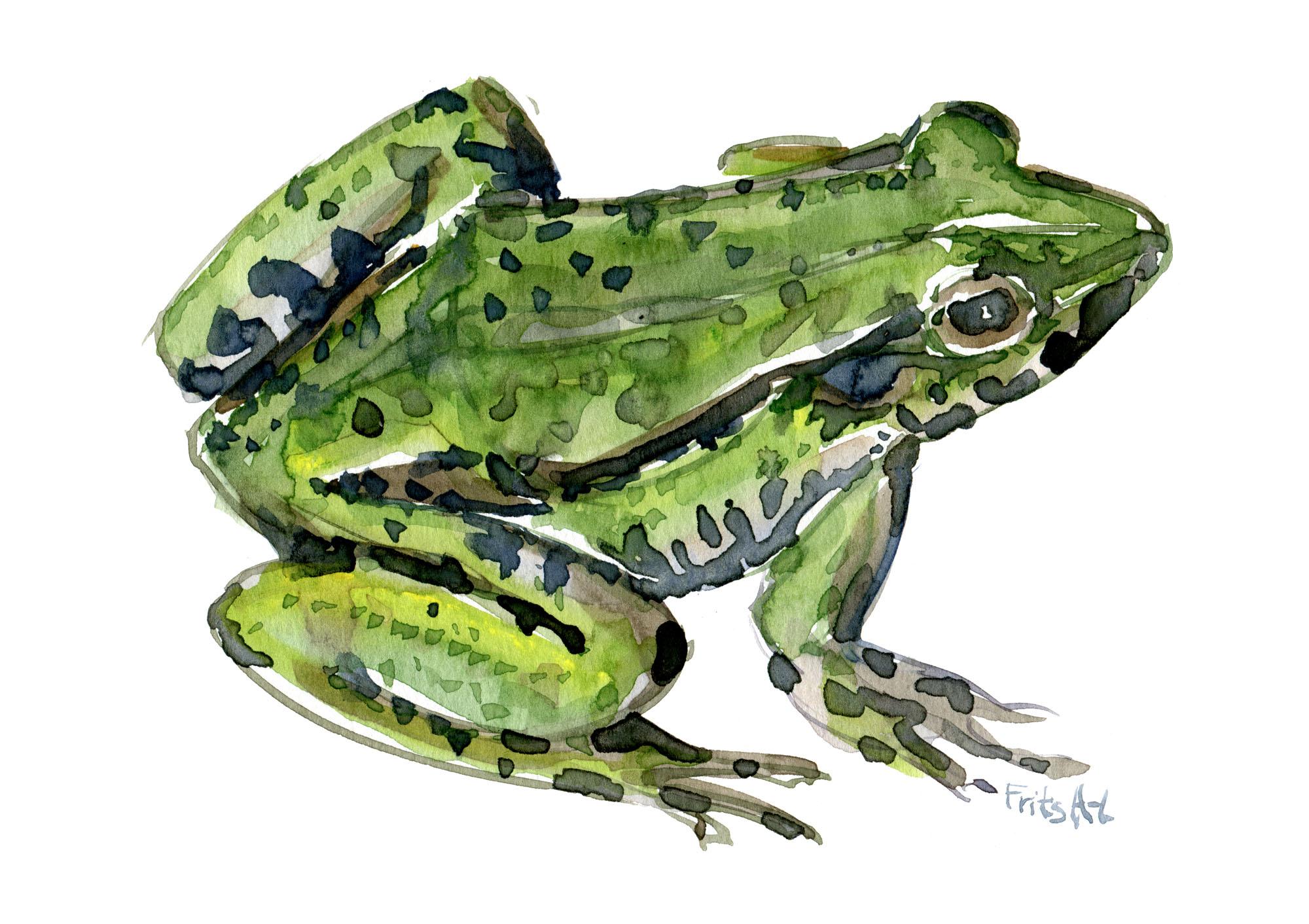 Akvarel af Grøn Frø