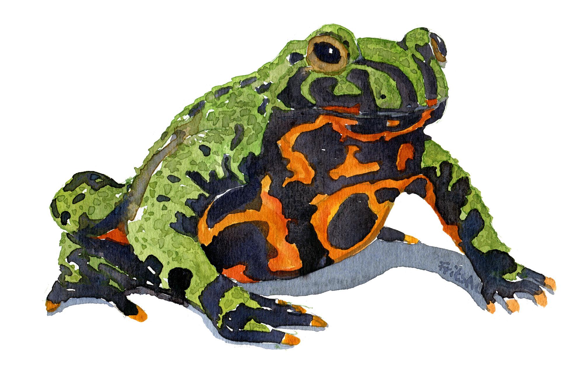 Akvarel af klokkefrø - Firebellied frog
