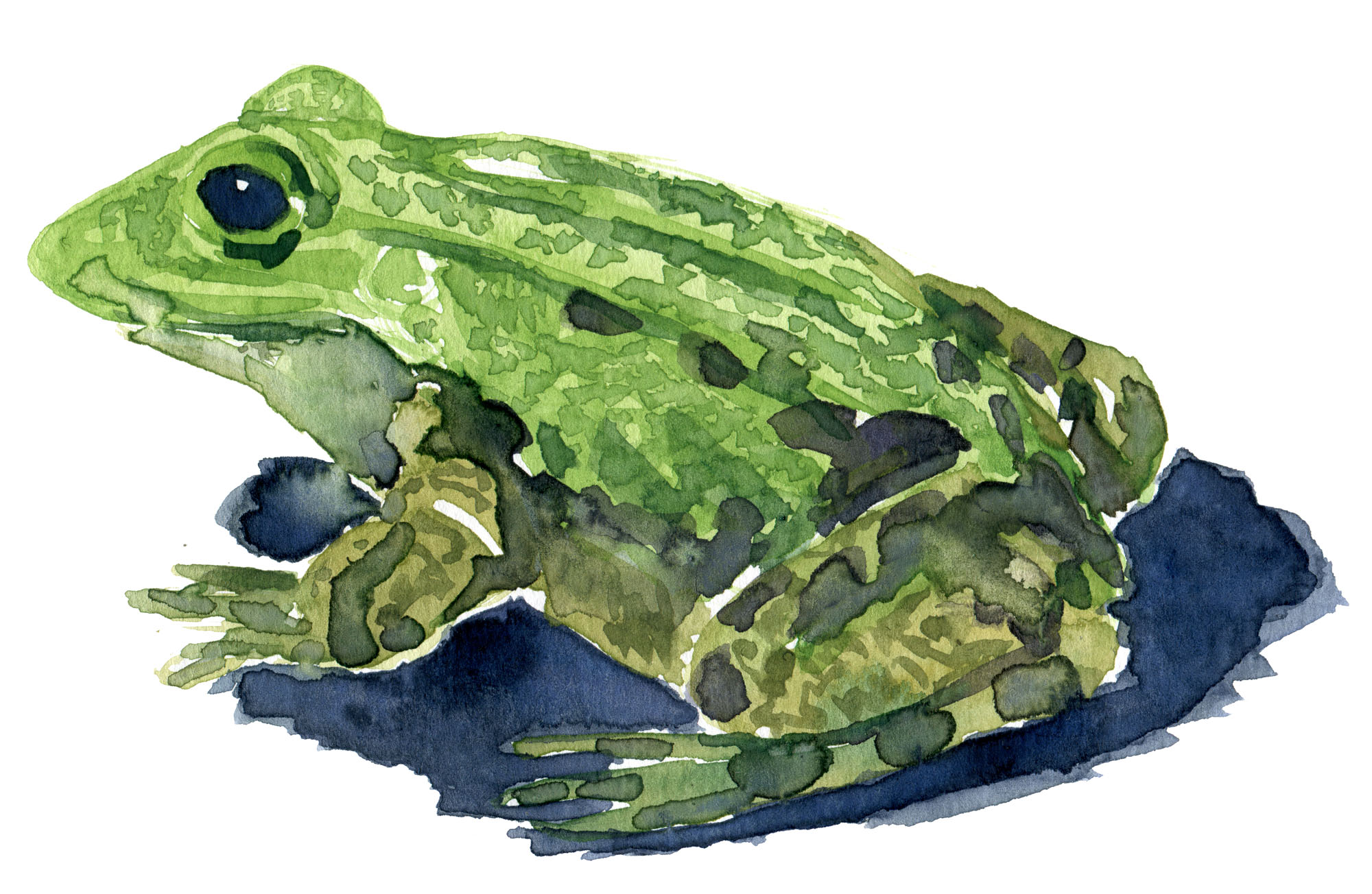 Latterfrø - Marsh frog