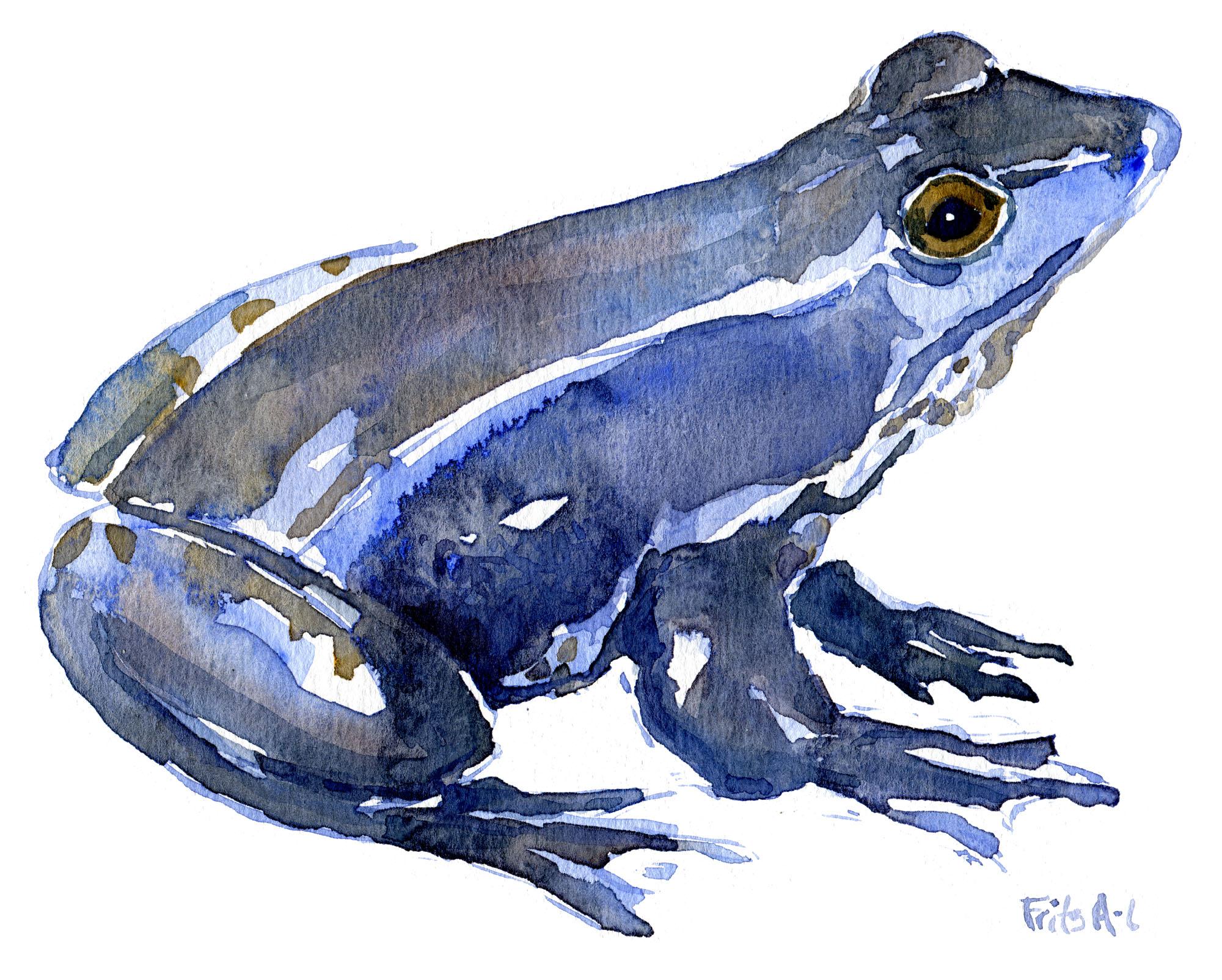 Spidssnudet frø i parringstid, blå variant. Akvarel