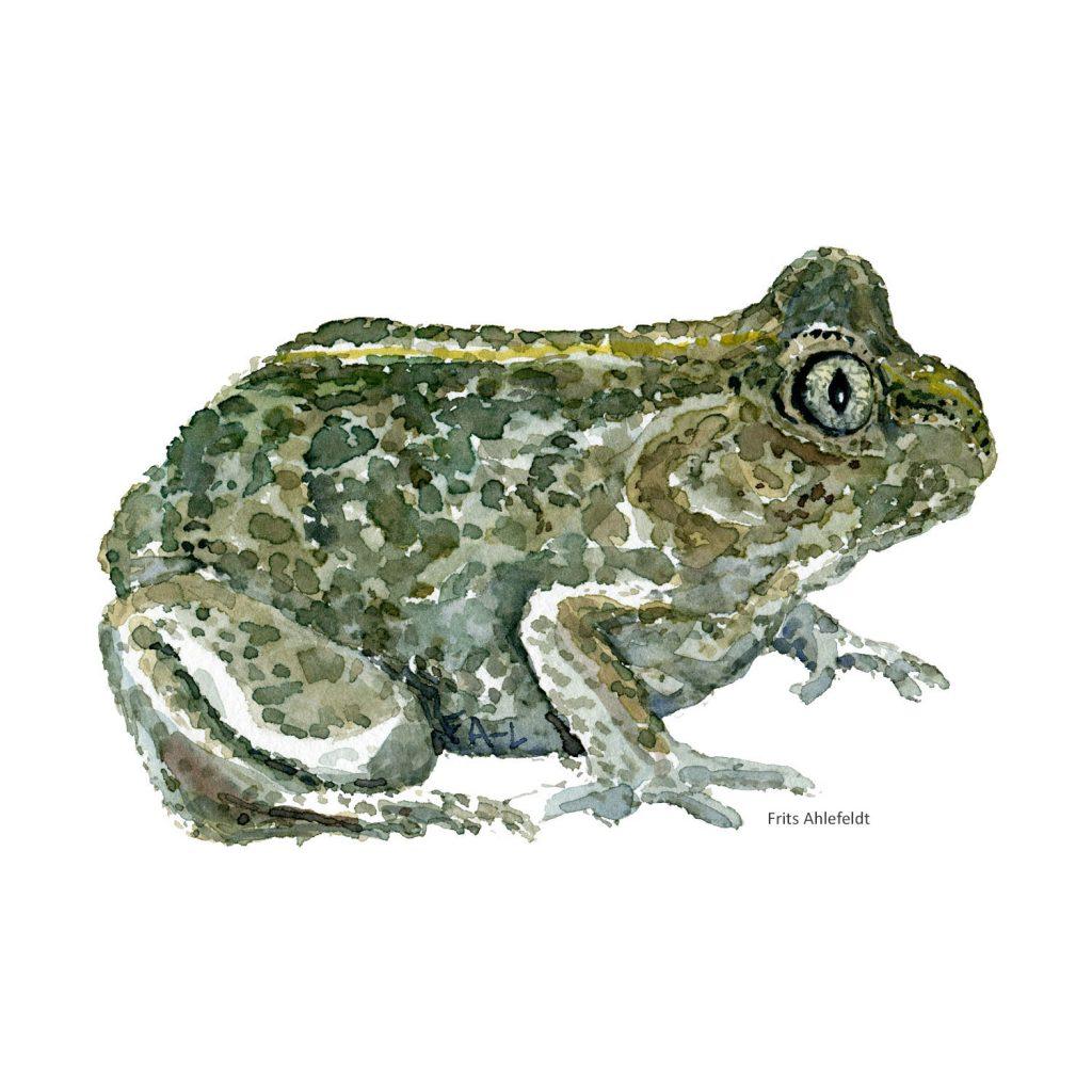 Akvarel illustration af Løgfrø ( common spade toad) tegning af Frits Ahlefeldt