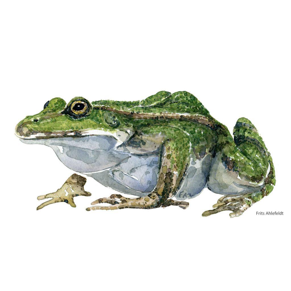 Akvarel illustration af Grøn frø. Tegning af Frits Ahlefeldt