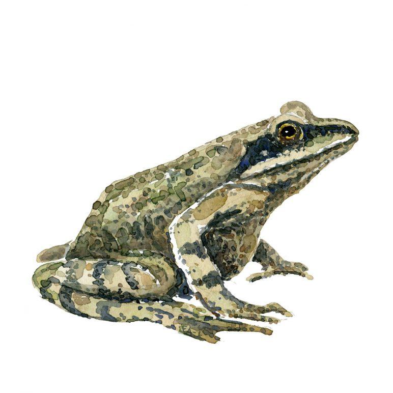 Akvarel af spidssnuet frø ( moor frog) Tegning af Frits Ahlefeldt